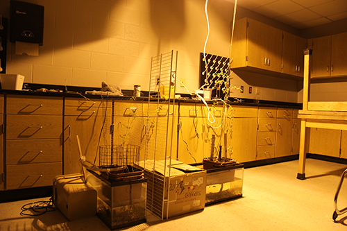 The Botany Club's hydroponic and aquaponic plant growing systems flourish under a grow light. Photo by Rylee Wilson.